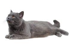 Britse en kat die linker ligt kijkt Stock Fotografie