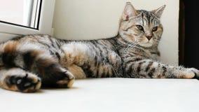 Britse gestreepte katkat die op zilver bij het venster rusten stock footage