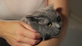Britse grijze kat in de wapens van vrouw het kammen stock footage