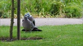 Britse houten duif die een het koppelen ritueel in een park van Kent uitvoeren stock footage