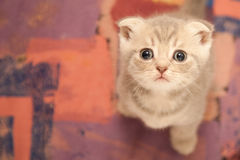 Britse jonge kat Royalty-vrije Stock Foto