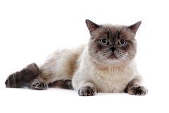 Britse kat Stock Fotografie