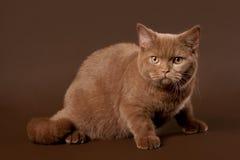 Britse kat Stock Afbeeldingen