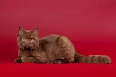 Britse kat Royalty-vrije Stock Foto