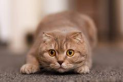 Britse kat Stock Foto
