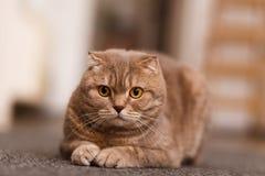 Britse kat Stock Afbeelding