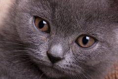 Britse kat royalty-vrije stock afbeeldingen