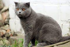 Britse kat met hangende oren in een zittingspositie stock afbeeldingen