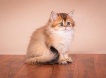 Britse kat Shorthair Stock Afbeelding