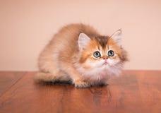 Britse kat Shorthair Royalty-vrije Stock Foto
