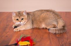Britse kat Shorthair Stock Foto's