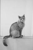 Britse kat Shorthair Royalty-vrije Stock Afbeeldingen