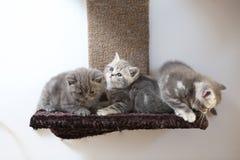 Britse katjes Shorthair Royalty-vrije Stock Afbeelding