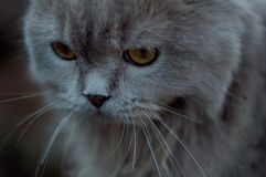 Britse katten voor een gang royalty-vrije stock foto