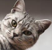 Britse Korte Haar Zilveren Gestreepte kat Royalty-vrije Stock Afbeeldingen