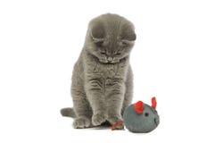 Britse korte haired grijze kat Stock Afbeelding