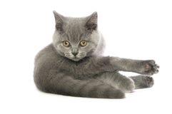 Britse korte haired grijze kat Royalty-vrije Stock Afbeeldingen