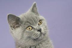 Britse korte haired grijze kat Royalty-vrije Stock Foto's