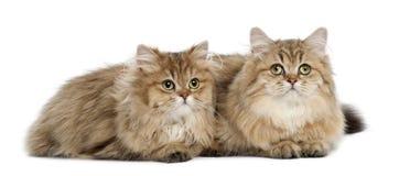 Britse Longhair kat, 4 maanden oud, het liggen Stock Afbeelding