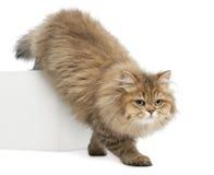 Britse Longhair kat, 4 maanden oud, het lopen Royalty-vrije Stock Afbeeldingen