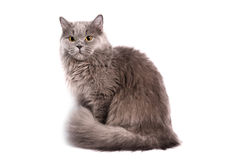 Britse Longhair Kat royalty-vrije stock foto's