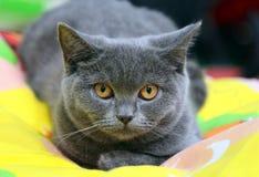Britse Shorthair is een stevige van de de kattenwol van Cheshire zachte hoofd-ronde het oogsinaasappel royalty-vrije stock afbeelding