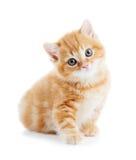 Britse Shorthair geïsoleerde katjeskat Stock Foto's