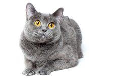 Britse shorthair grijze kat met grote brede open oranje ogen op een witte achtergrond stock afbeeldingen
