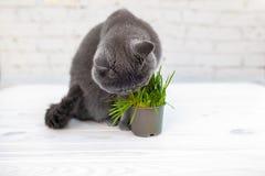 Britse Shorthair-kat eet hij nuttig vitamine-rijk gras in een pot van een dierenwinkel stock foto