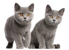 Britse Shorthair katjes, 3 maanden oud Royalty-vrije Stock Fotografie