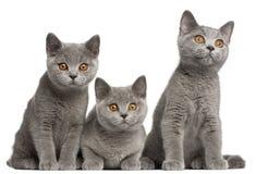 Britse Shorthair katjes, 3 maanden oud, het zitten Royalty-vrije Stock Foto