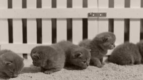 Britse Shorthair-katjes die in een kleine werf, witte omheining spelen binnen stock footage
