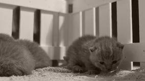 Britse Shorthair-katjes die in een kleine werf, witte omheining spelen binnen stock video