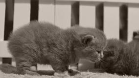 Britse Shorthair-katjes die in een kleine werf, witte omheining spelen binnen stock videobeelden