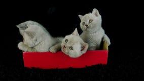 Britse Shorthair-katjes die in een rode doos, zwarte achtergrond zitten stock videobeelden