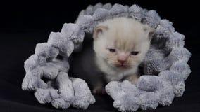 Britse Shorthair-katjes die in een zachte doek verbergen stock video