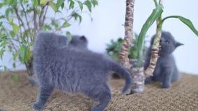 Britse Shorthair-katjes die onder Yuccainstallaties spelen stock videobeelden
