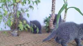 Britse Shorthair-katjes die onder Yuccainstallaties spelen stock video