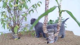 Britse Shorthair-katjes die onder Yuccainstallaties spelen stock footage