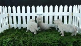 Britse Shorthair-katjes die op een groene pluizige algemene, witte omheining spelen stock videobeelden