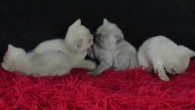 Britse Shorthair-katjes die op een pluizige rode deken spelen stock footage