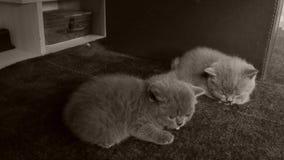 Britse Shorthair-katjes die op een tapijt slapen stock videobeelden