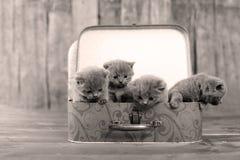 Britse Shorthair-katjes in een koffer stock fotografie