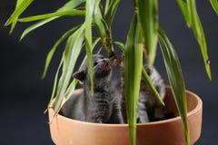 Britse Shorthair-katjes in een pot van de Yuccainstallatie Royalty-vrije Stock Foto's