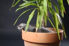 Britse Shorthair-katjes in een pot van de Yuccainstallatie Stock Foto's