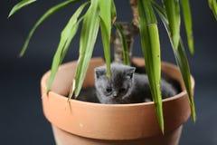 Britse Shorthair-katjes in een pot van de Yuccainstallatie Royalty-vrije Stock Afbeeldingen