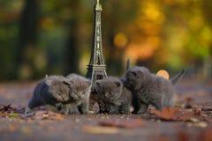 Britse Shorthair-katjes en Reis Eiffel royalty-vrije stock foto's