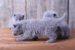Britse Shorthair-katjes op een houten achtergrond Stock Foto