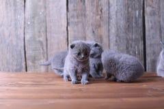 Britse Shorthair-katjes op een houten achtergrond Royalty-vrije Stock Foto's