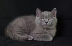 Britse Shorthair.Kitten. Royalty-vrije Stock Afbeelding
